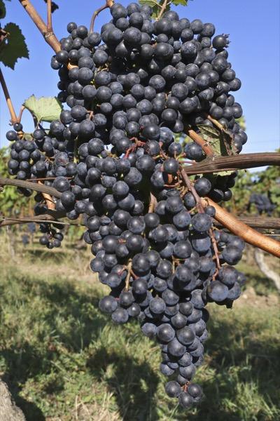 Weingut Machmer reife Biorotweintrauben