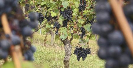 Weingut Machmer deutscher Dornfelder Biowein